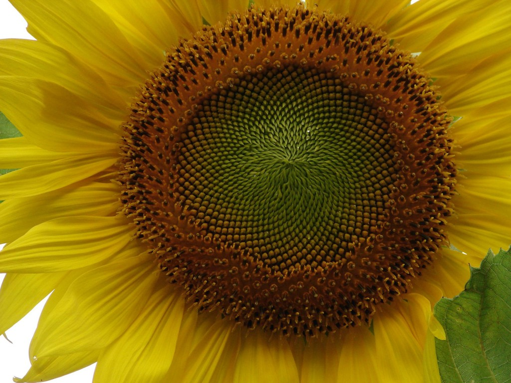 sunflower seed patterns